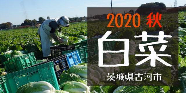産地のふるさと便り 2020白菜
