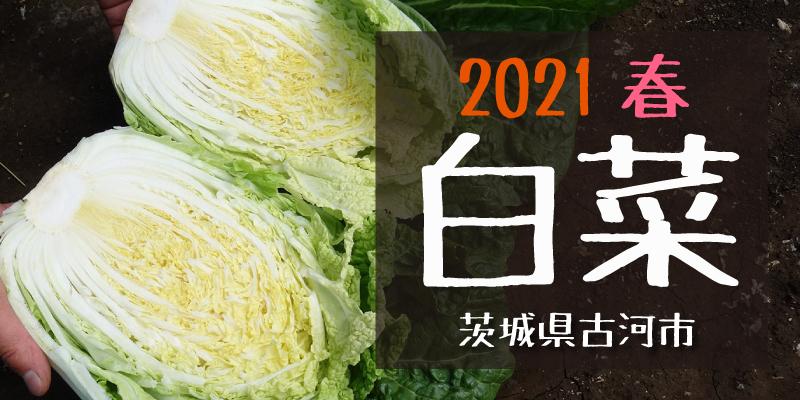 産地のふるさと便り 2021白菜